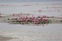 цветет вода лотоса лилий озера Стоковые Изображения RF