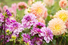 Цветет георгин Стоковая Фотография RF