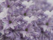 Цветет гиацинты свет-розовые на расплывчатой предпосылке свет-розов-фиолетовый букет цветков флористический коллаж тюльпаны цветк Стоковая Фотография RF