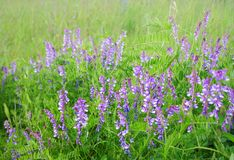 цветет горох одичалый Стоковые Фотографии RF