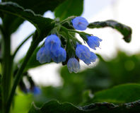 Цветет голубые колоколы Стоковые Фотографии RF