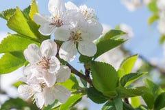 цветет груша Стоковая Фотография RF