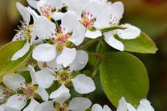 цветет грушевое дерев дерево Стоковая Фотография RF