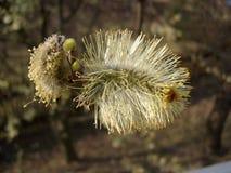 Цветет дерево вербы Стоковое Фото