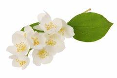 цветет жасмин Стоковые Фото