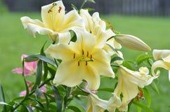 цветет желтый цвет лилии Стоковые Изображения RF
