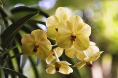 цветет желтый цвет орхидеи Стоковое Изображение