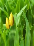 цветет желтый цвет тюльпанов лепестков Стоковая Фотография