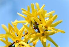 цветет желтый цвет forsythia Стоковое Фото