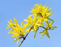 цветет желтый цвет forsythia Стоковые Изображения RF