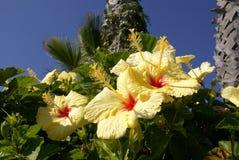 цветет желтый цвет hibiscus Стоковые Фото