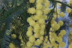 цветет желтый цвет mimosa Стоковые Фотографии RF
