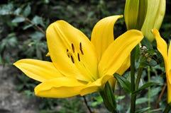 цветет желтый цвет лилии Стоковое Изображение RF