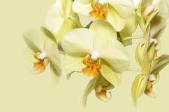 цветет желтый цвет орхидеи стоковые фото