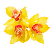 цветет желтый цвет орхидеи Стоковое фото RF