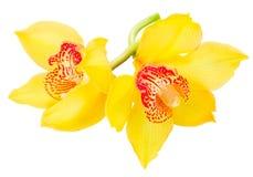 цветет желтый цвет орхидеи Стоковая Фотография RF