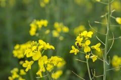 цветет желтый цвет лужка Стоковые Изображения