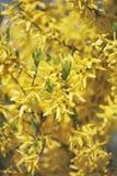цветет желтый цвет forsythia вал весны природы ветви яркий цветя зеленый Стоковое фото RF