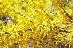 цветет желтый цвет forsythia Весна Стоковое фото RF