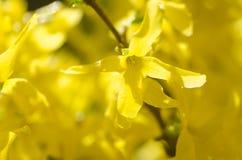 цветет желтый цвет forsythia Стоковое Изображение RF