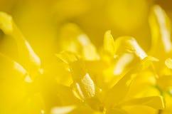 цветет желтый цвет forsythia Стоковая Фотография