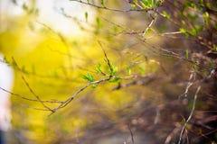 цветет желтый цвет forsythia Стоковое фото RF