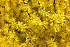цветет желтый цвет forsythia Стоковые Фотографии RF