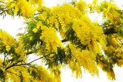 цветет желтый цвет mimosa Стоковое Изображение