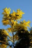 цветет желтый цвет mimosa Стоковое Фото