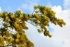 цветет желтый цвет mimosa Стоковое фото RF