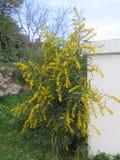 цветет желтый цвет mimosa Стоковое Изображение RF