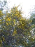 цветет желтый цвет mimosa Стоковые Изображения