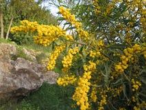 цветет желтый цвет mimosa Стоковые Изображения RF