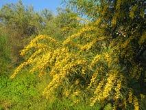 цветет желтый цвет mimosa Стоковая Фотография