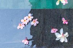 цветет заплывание бассеина frangipani Остров Бали Стоковая Фотография RF