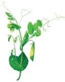 цветет зеленый горох Иллюстрация штока