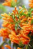 цветет золотистый ливень стоковая фотография