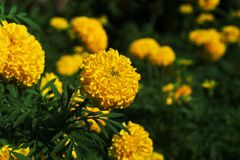 цветет золотистый ноготк Стоковые Фотографии RF