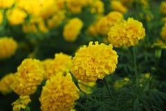 цветет золотистый ноготк Стоковое фото RF