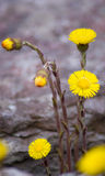цветет золотистое Стоковое фото RF