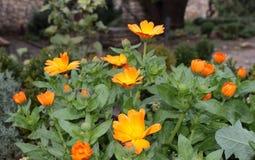 цветет золотистое Стоковое Изображение RF