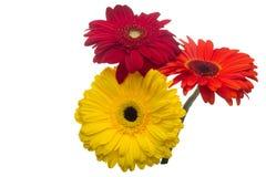 Цветет изолированное пестротканое gerbera Стоковое Изображение