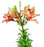 Цветет лилия изолированная на белой предпосылке Стоковые Изображения