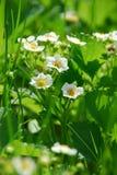 цветет клубника Стоковые Фото
