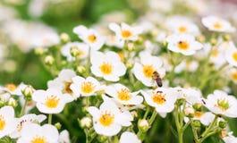 цветет клубника Стоковые Изображения