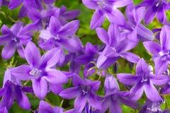 Цветет колокольчик Стоковая Фотография