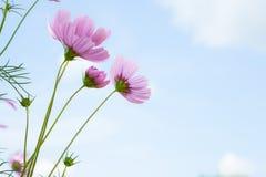 Розовые цветки. стоковое фото