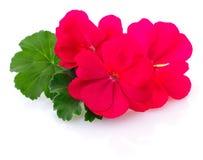 цветет красная белизна Стоковое Изображение RF
