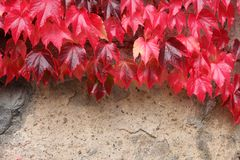 цветет красная стена Стоковое Изображение