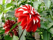 Цветет красное цветене георгина Стоковое Изображение RF
